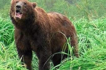 Tüm ayı türleri çok hızlı koşabiliyor olmalarıyla ünlü. Boz ayıların hem suda hem de karada hızlı olmaları,saldırmak için atıldıklarında elleri boş dönmemelerini garantiliyor. Peki bir boz ayıyla karşılaşma anında böyle bir saldırıdan kaçıp kurtulma ihtimalimiz var mı?