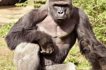 Aslında bazı hayvanlar aynı bizler gibi yaşlandıkça beyaz saçlara sahip olmaya başlıyor. Örneğin goril türleri arasında kafasını kaplayan tüylerin tamamen beyazlayabildiği alfa erkekler mevcut