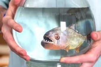 Piranaları konu alan filmlerin yanlış aktarımları nedeniyle hepimiz onlardan çok korkuyoruz. Zaten keskin dişleri yüzünden öyle korkunç görünüyorlar ki onları sevimli bulan bir insan rastlamak neredeyse mümkün değil. Güney Amerika'daki akarsularda yaşayan bu balık türü kendi içinde de sınıflara ayrılıyor. Örneğin etobur olmayanları bile var. Ama farklı sınıflardan olan piranaları ayırt etmek pek kolay değil. Bu yüzden konuyla ilgilenen uzmanlar da zorlanıyorlar. Dolayısıyla bir pirana gördüğünüz