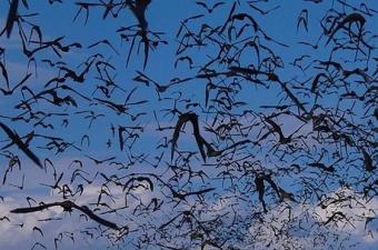 Bazıları da hem görsel hem sonar veriyi kullanıyor. Örneğin Amerika'da yaşayan küçük kahverengi yarasaların ay ışığında son derece iyi görebildikleri anlaşıldı.