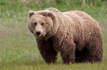 Boz ayı saldırısından kurtulmanın bir yolu var mı?