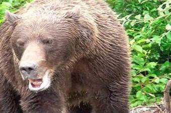 Boz ayılar kaçan hayvanlara saldırmayı tercih ediyor. Bu onların içgüdüsel avlanma dürtülerini tetikleyen bir durum. Kaçmak yerine yüksek bir ağaca tırmanmak daha mantıklı. Ama kahverengi ayılar tırmanma konusunda çok usta olmasalar da siyah ayılar bunda iddialı. Bu yüzden ayılarla karşılaşan insanların yavaşça geri geri yürüyerek uzaklaşmaları tavsiye ediliyor.