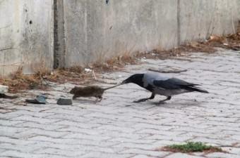 Tokat'ta kargaların fare ile mücadelesi objektiflere yansıdı.  Fotoğraf: Nurhan İçmez
