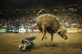 Amerika'nın önde gelen rodeocularını bir araya getiren Profesyonel Boğa Binicileri (PBR) liginin New York ayağı Madison Square Garden'da yapıldı.