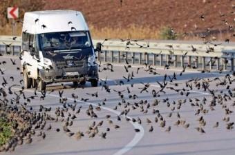 Bursa'da hava sıcaklığının eksi 2 dereceye düşmesi üzerine binlerce kuş karayoluna inip yiyecek aradı.  Fotoğraf: Alper Tüydeş