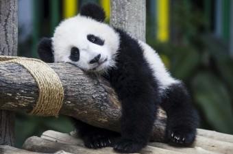 """Malezya Hayvanat Bahçesi'nde doğan 7 aylık dişi yavru pandaya Çince dostluk anlamına gelen """"Nuan Nuan"""" adı verildi. Bu ad yaklaşık 23.000 öneri arasında seçildi."""