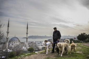 """Malatya'da 20 yıl çobanlık yapan 56 yaşındaki Bayram Kozat, daha sonra yerleştiği İstanbul'da emekliliğinin ardından seçtiği yeni mesleği """"köpek gezdiriciliği"""" ile çobanlık günlerine dönmenin mutluluğunu yaşıyor. İstanbul'un en kalabalık caddelerinde farklı cins köpekleri gezdiren Kozat, yerli ve yabancı turistlerin de ilgisini çekiyor."""