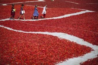Bangladeş'in Gaibandha şehrinde kadınlar günlük 1 ABD Doları'nın altında ücretle kırmızı biber üretiminide çalışıyor. Tarlalardan toplanan kırmızı biberler güneşin altına serildikten sonra kurumaya bırakılıyor. Düzenli kurumayı sağlamak için belirli aralıklarla kırmızı biberleri karıştıran kadın işçiler; güneşin altında zor şartlarda çalışıyor.