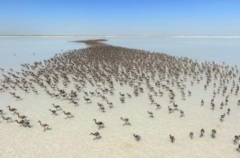 Türkiye'nin ve Akdeniz havzasının en büyük flamingo kolonisine ev sahipliği yapan Tuz Gölü'nde binlerce flamingo yavrusu kuluçkadan çıktı.