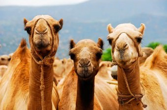 Bugün çöllerle özdeşleşen develerin kökeni aslında Kuzey Amerika'ya dayanmaktadır. Fakat kıtada 10.000 yıl önce tükenmiştir.