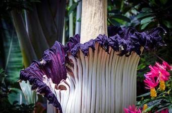 Adını, taşıdığı kötü kokudan alan ceset çiçeğinin açılması için 6 yıl gerekebilir.