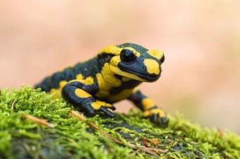 Kurbağalar ve semenderler, derileri yoluyla nefes alabilirler.