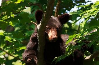 Kara ayılar bazen ağaç tepelerinde de kış uykusuna yatarlar.
