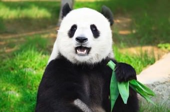 Erkek pandalar işaret bırakmak için ağaçlara işerler. İşin ilginç tarafı, bunu yaparken amuda da kalkabilirler.