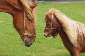 Yaşayan ilk atların boyutları siyam kedileri kadardı ki bunlar yaşayan en küçük atlardı...