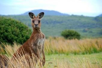 12.000 yıl önce yaşayan kanguruların boyutları bir gergedanla aynıydı.